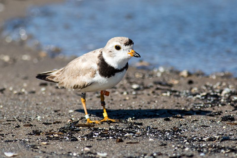 There were only 8 nesting pairs of Piping Plovers in Ontario in 2018. The mayor of South Beach peninsula would like to see the endangered birds removed from the endangered species listing.
