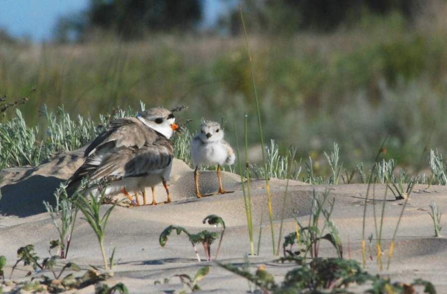 A piping plover male and young